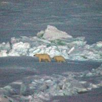 PolarBear_KevinHand